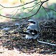 Call of the Wild, by Jack Loggerhead Shrike