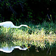 Fast Food is Not For Egrets!