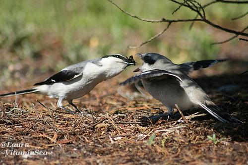 Loggerhead Shrikes at Feeding Time