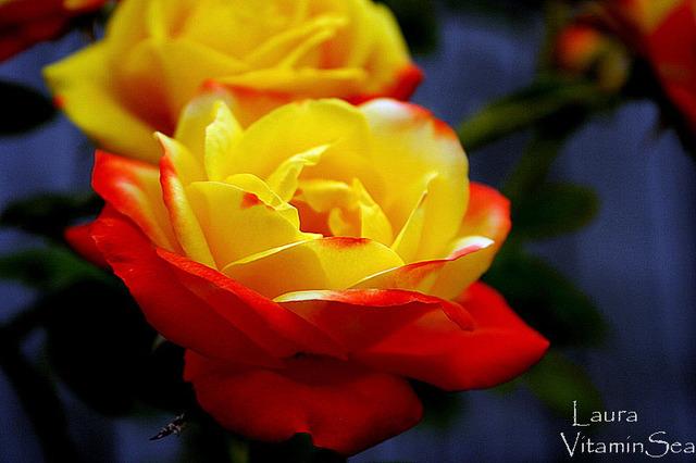 Rose8242_2