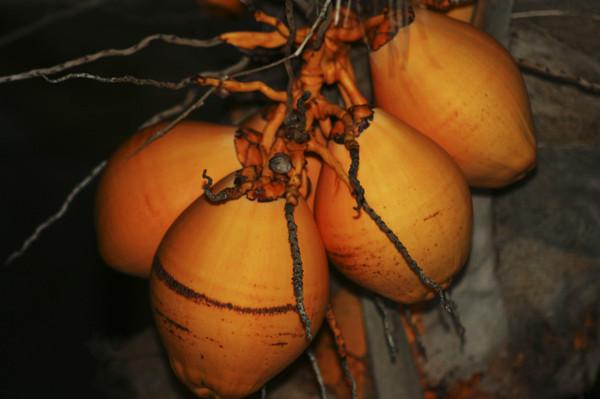 Coconuts3_2
