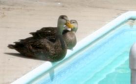Ducks_apriljpg