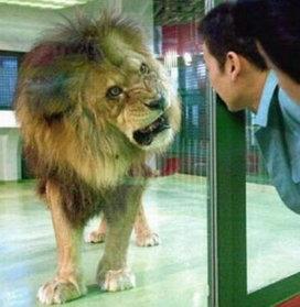 Lion_grimace_2